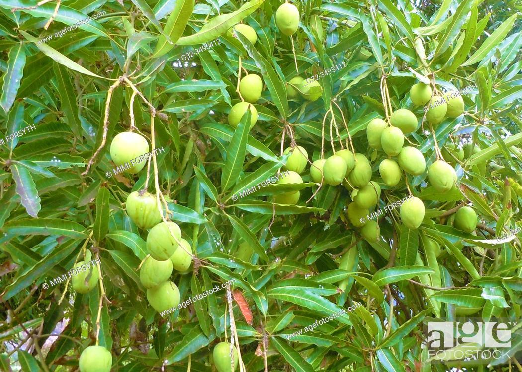 Stock Photo: mangoes ripening on tree, Atuona, Hiva Oa, Marquesas, French Polynesia.