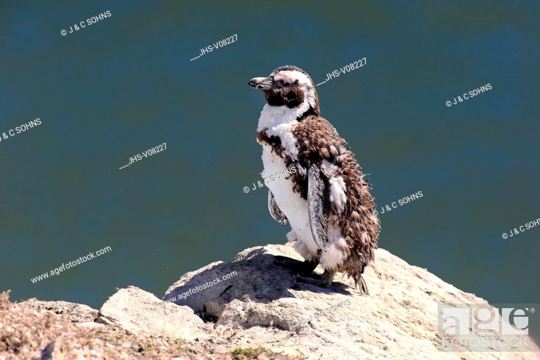 Stock Photo: Jackass Penguin, (Spheniscus demersus), adult on rock moulting, Betty's Bay, Western Cape, South Africa, Africa.