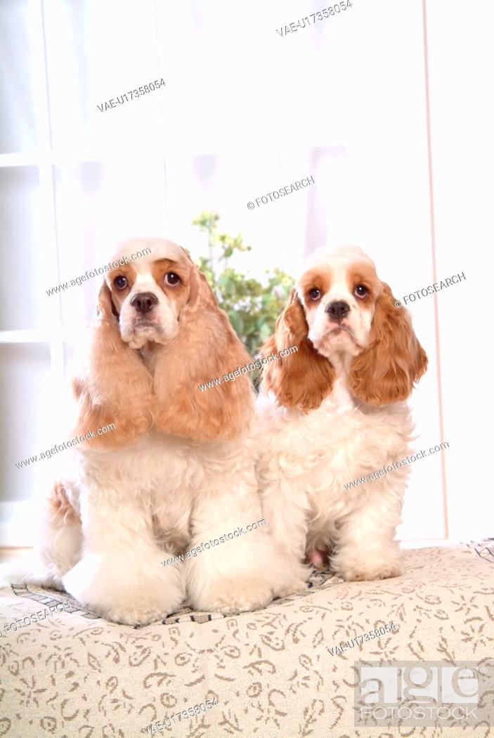 Stock Photo: house pet, cocker spaniel, canines, domestic, american cocker spaniel, pose, spaniel.