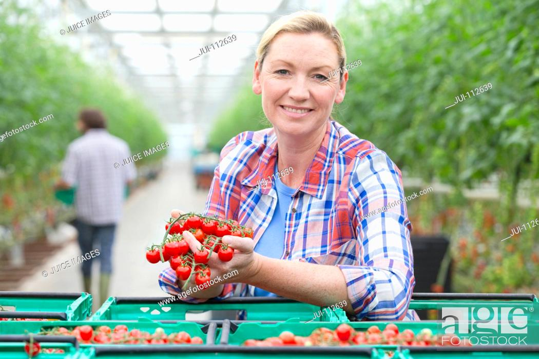 Stock Photo: Portrait smiling grower holding ripe red vine tomatoes in crates in greenhouse.