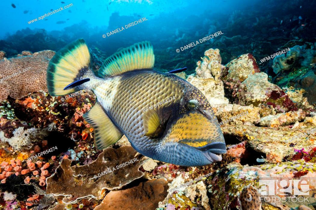 Stock Photo: Giant Triggerfish beeing cleaned, Balistoides viridescens, Komodo National Park, Indonesia.