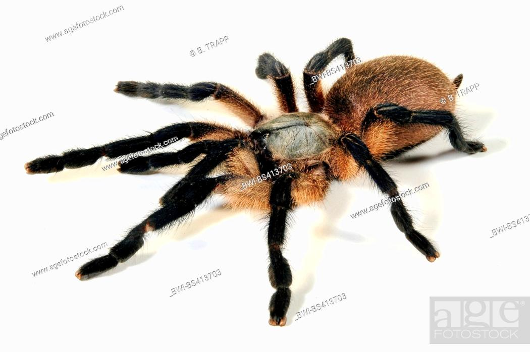 Stock Photo: Socotra Island Blue Baboon, Secotra Island Blue Baboon Tarantula (Monocentropus balfouri), cut-out.