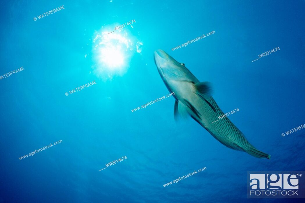 Stock Photo: Napoleon Humpback Wrasse, Cheilinus undulatus, Blue Corner, Micronesia, Palau.