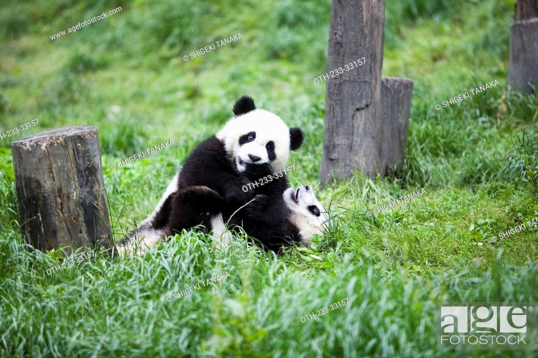 Stock Photo: Giant Panda, Chengdu Panda breeding and reseach center, Chengdu, China.
