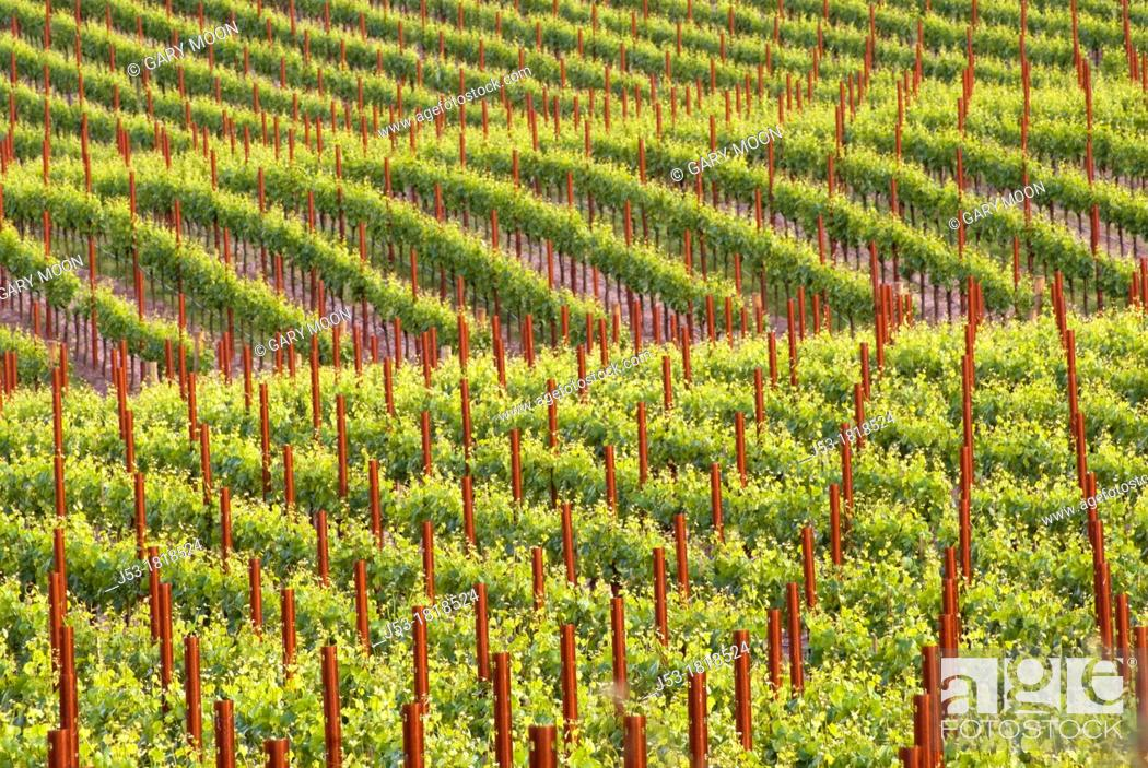 Stock Photo: Rows of grapevines in vineyard, Sonoma County, California.