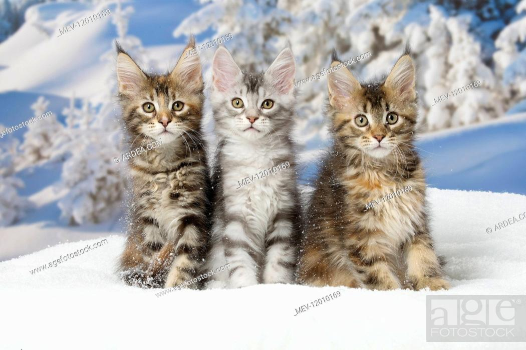 Maine Coon kittens in the snow in winter, Stock Photo