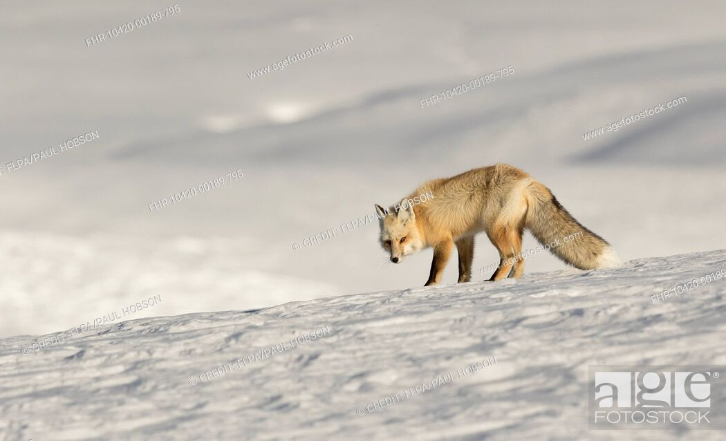 Stock Photo: American Red Fox (Vulpes vulpes fulva) adult, standing on snow, Yellowstone N.P., Wyoming, U.S.A., February.