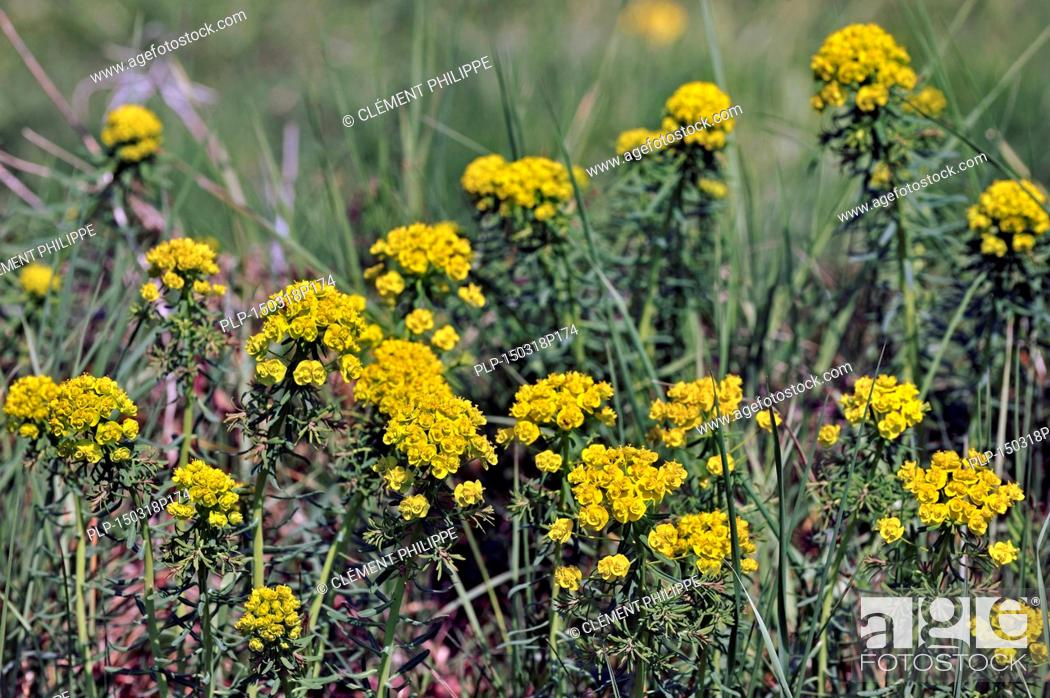 Stock Photo: Cypress spurge (Euphorbia cyparissias) in flower.