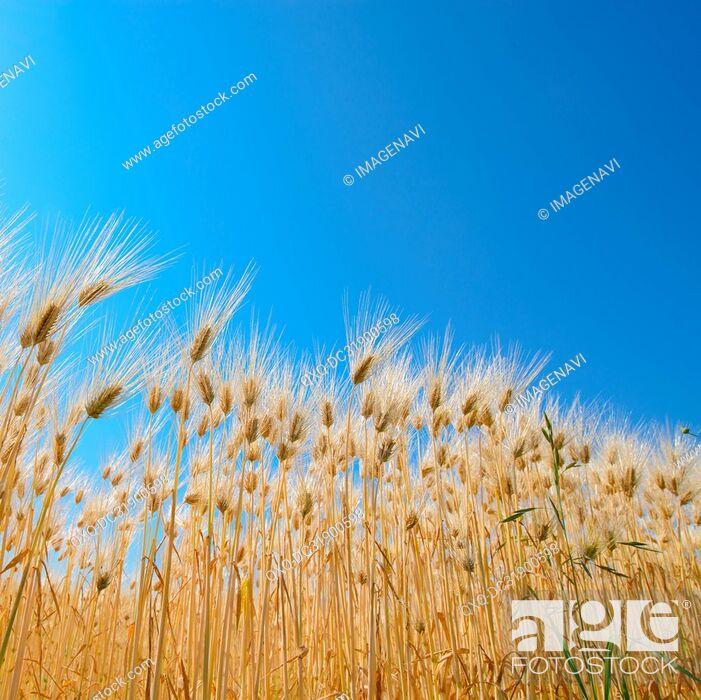 Stock Photo: Barley Field.