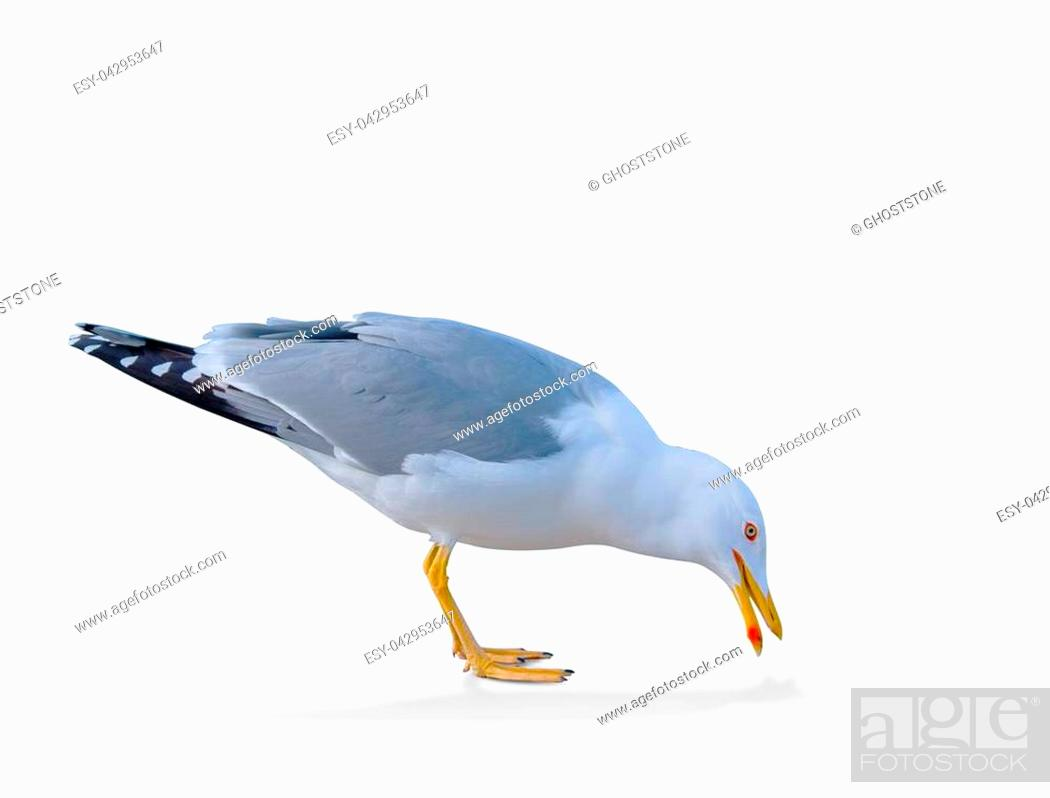 Stock Photo: sea gull standing on his feet. seagull . Isolated over white. a seagull picks up food from the ground.