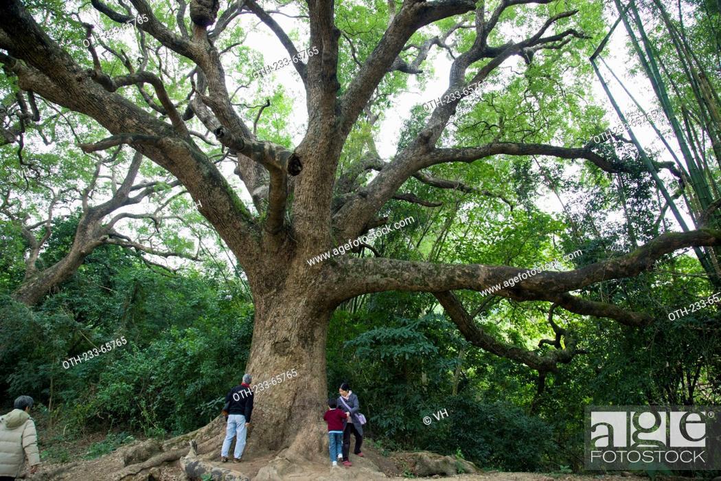 Stock Photo: Giant camphor trees at the hillside, Fanling, New Territories, Hong Kong.