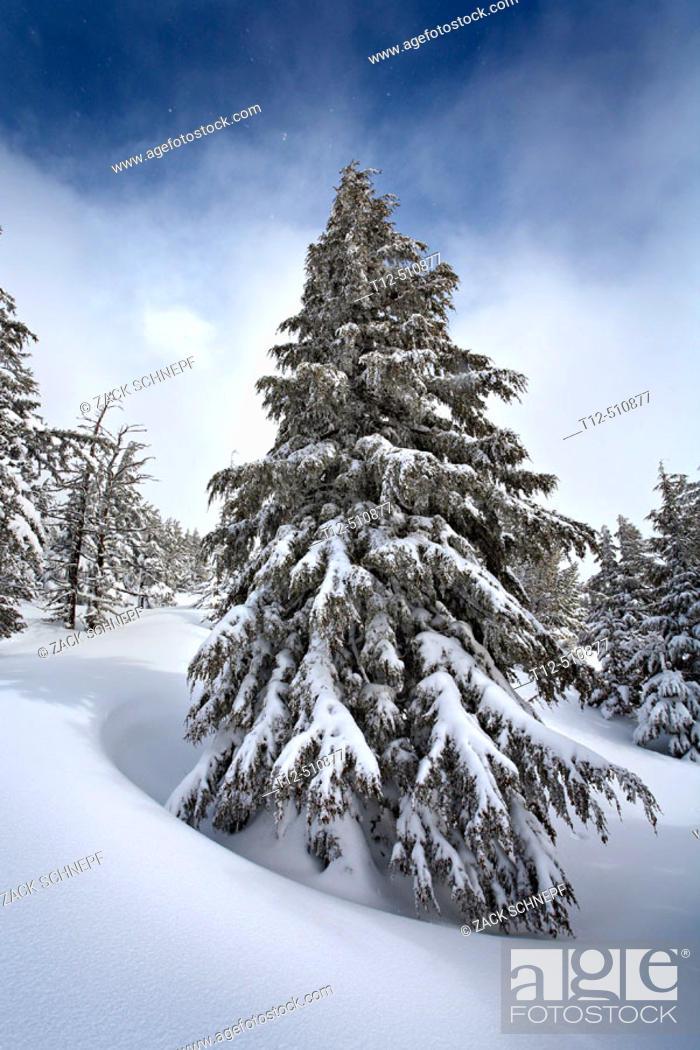 Stock Photo: A frozen fir tree in a snow field on Tumalo Mountain, Oregon.