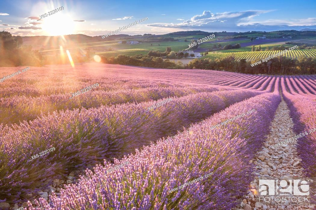 Stock Photo: Lavander fields and vineyards in the Drôme Provençale, Drôme, France.