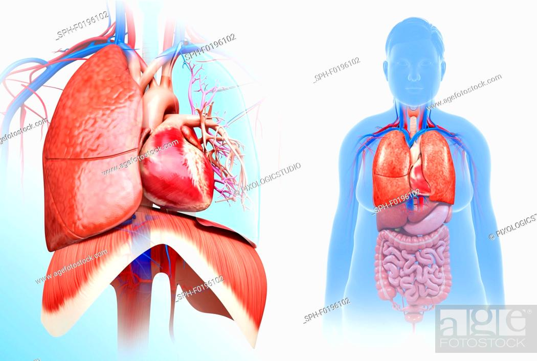 Anatomy heart lung Stock Photos and Images | age fotostock