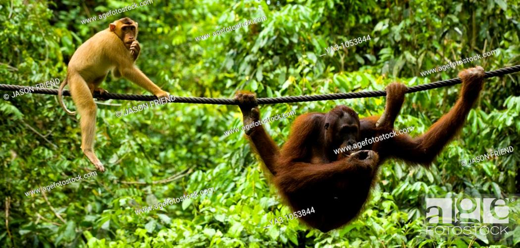 Stock Photo: Sabah Malaysia, Borneo, Sepilok  Pig tailed Macaque watching an Orang Utan eating fruit whilst hanging from a rope in the Sepilok Orangutan Rehabilitation.