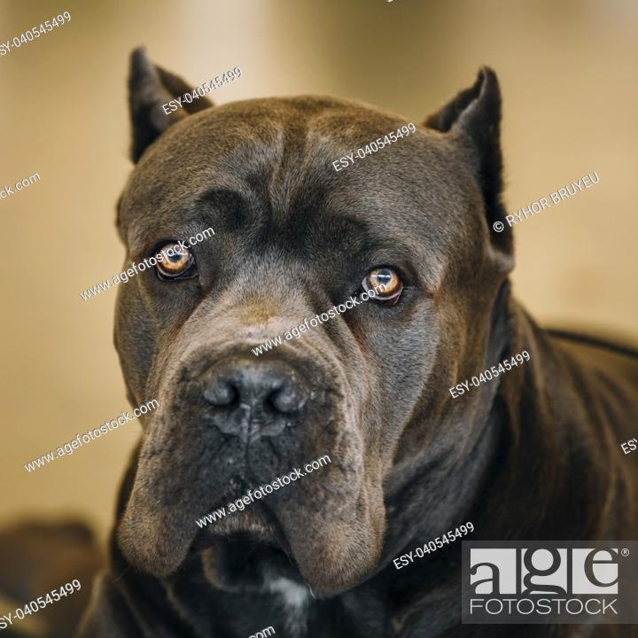 Brown Adult Cane Corso Close Up Portrait Dog Looking At Camera