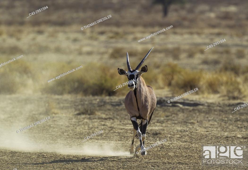 Stock Photo: Gemsbok (Oryx gazella). A dominant male trying to impress and intimidate a rival. Kalahari Desert, Kgalagadi Transfrontier Park, South Africa.