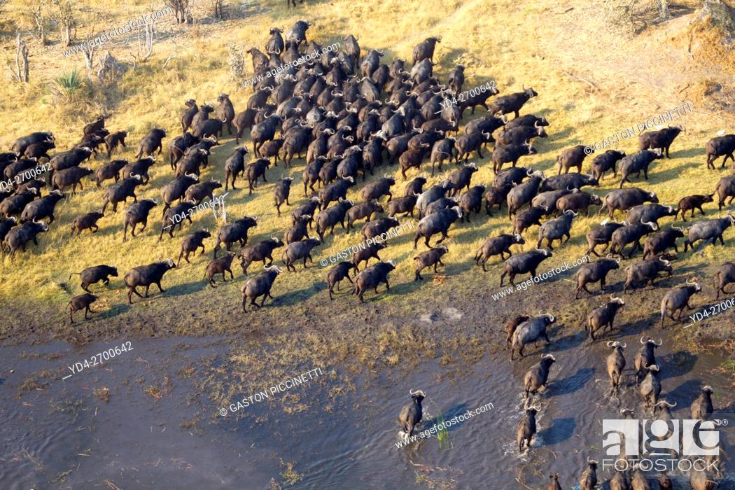 Stock Photo: Aerial view of African buffalo or Cape buffalos group (Syncerus caffer). Okawango Delta, Botswana. The Okavango Delta is home to a rich array of wildlife.