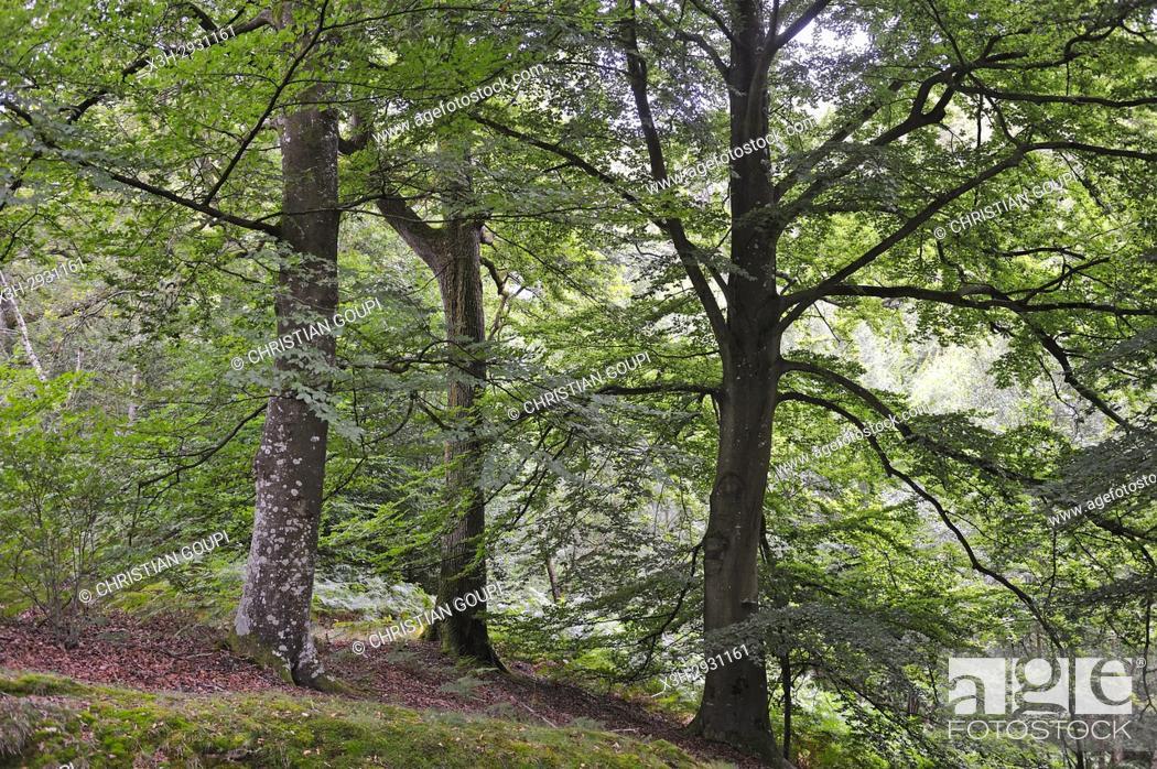Stock Photo: Forest of Rambouillet, Haute Vallee de Chevreuse Regional Natural Park, Yvelines department, Ile-de-France region, France, Europe.