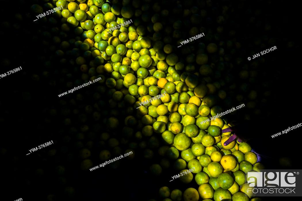 Stock Photo: Fingers of an Afro-Colombian worker loading green oranges (for juicing) into baskets are seen in a storage room of the fruit market in Barranquilla, Colombia.