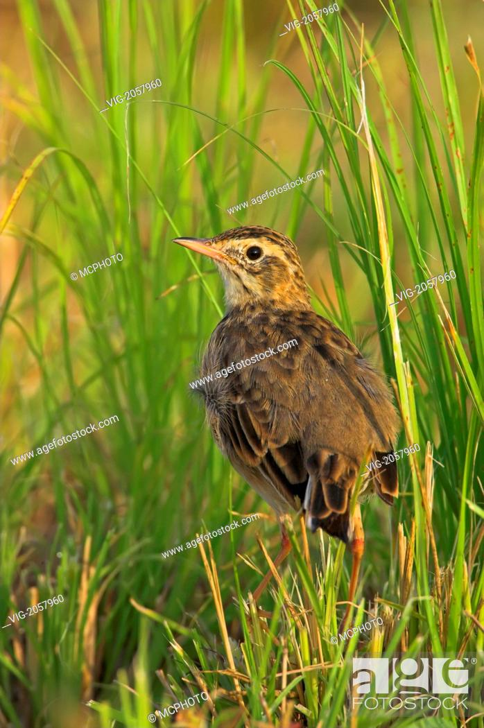Spornpieper, Richard's Pipit, Anthus richardi, Anthus