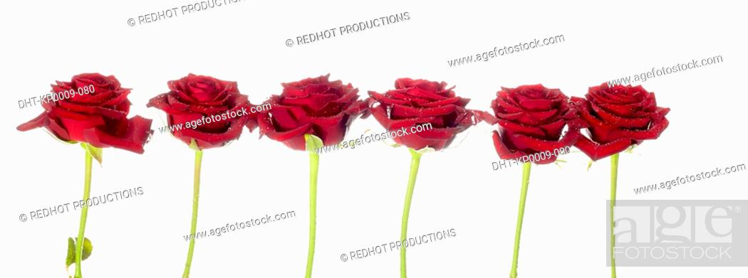 Stock Photo: Six Red Roses in a row.