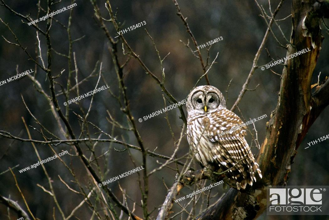 Stock Photo: Barred owl, Strix varia, in late fall among tree branches looking directly at viewer.