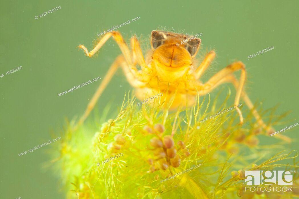 Imagen: Scarce Chaser Libellula fulva - National Park Weerribben-Wieden, De Wieden, Wetering, Steenwijkerland, Overijssel, The Netherlands, Holland, Europe.
