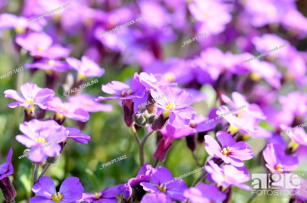 Imagen: Aubrieta 'Doctor Mules', Mass of purple coloured flowers growing outdoor.