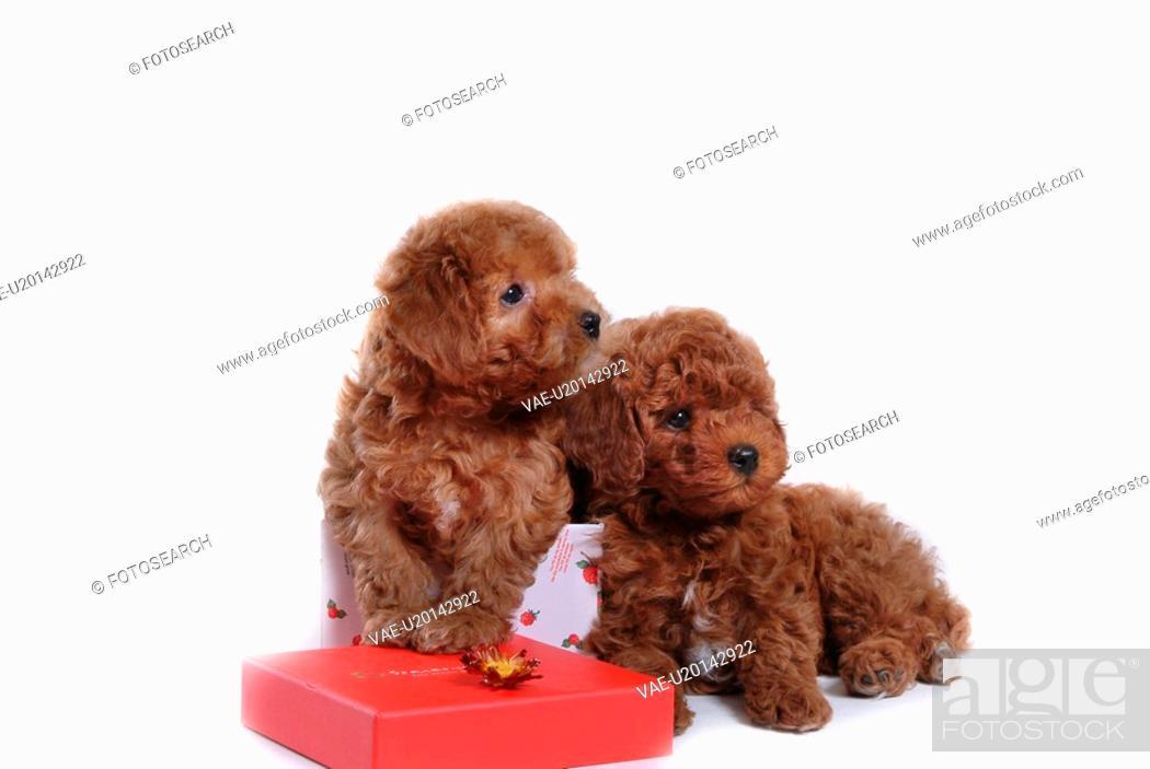 Stock Photo: house pet, domestic, cute, loving, canines, dogpoodle.