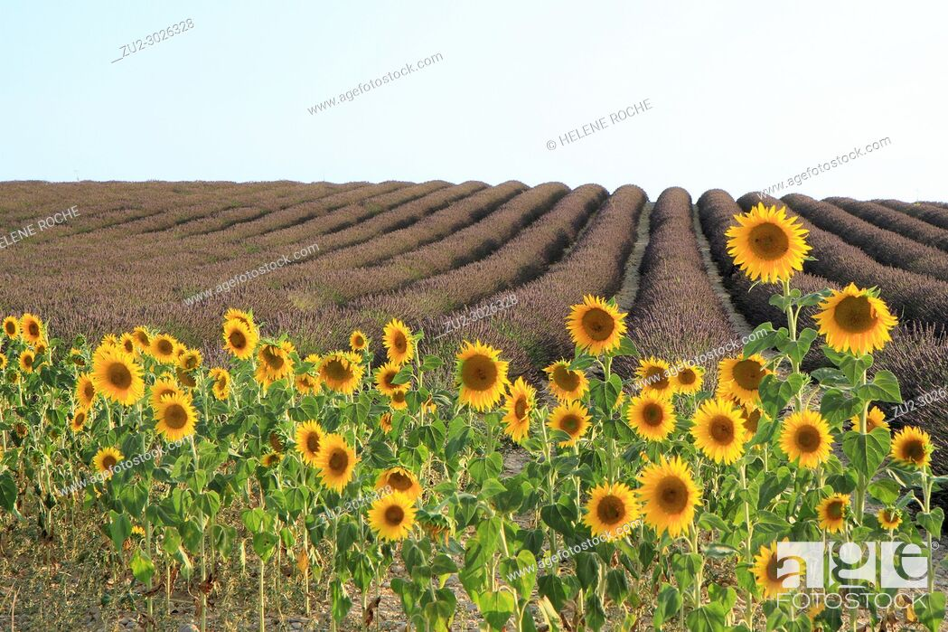 Stock Photo: Sunflowers and lavender fields in Valensole, Provence, France.