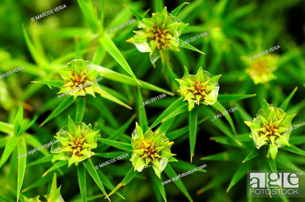 Stock Photo: Haircap moss.