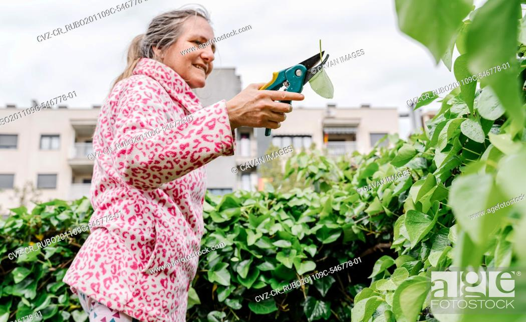 Stock Photo: Woman with scissors pruning green ivy in a garden. Horizontal photo.