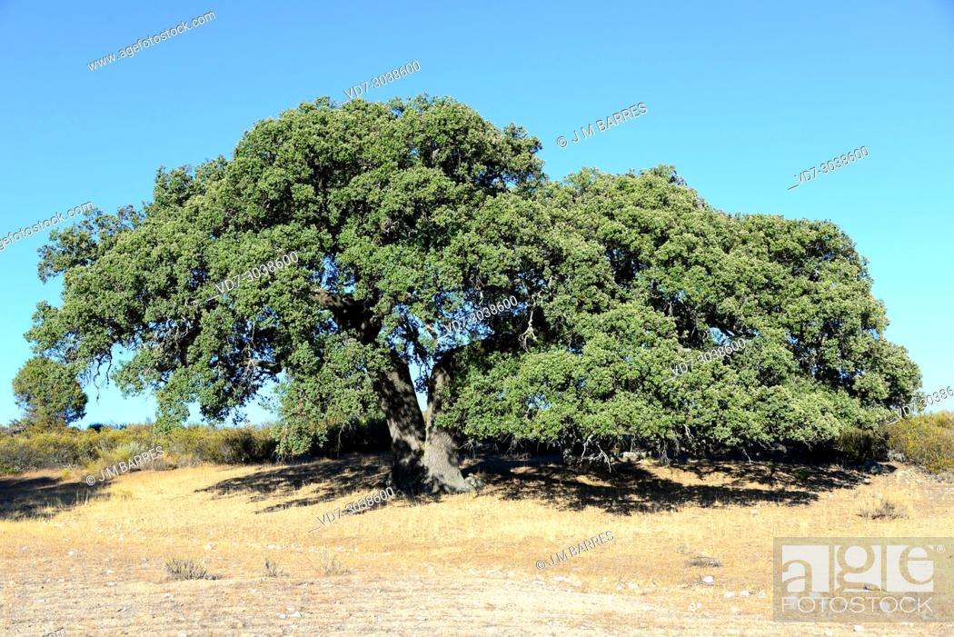 Photo de stock: Evergreen oak, holly oak or holm oak (Quercus ilex rotundifolia or Quercus ballota) is a evergreen tree native to Iberian Peninsula and north Africa.