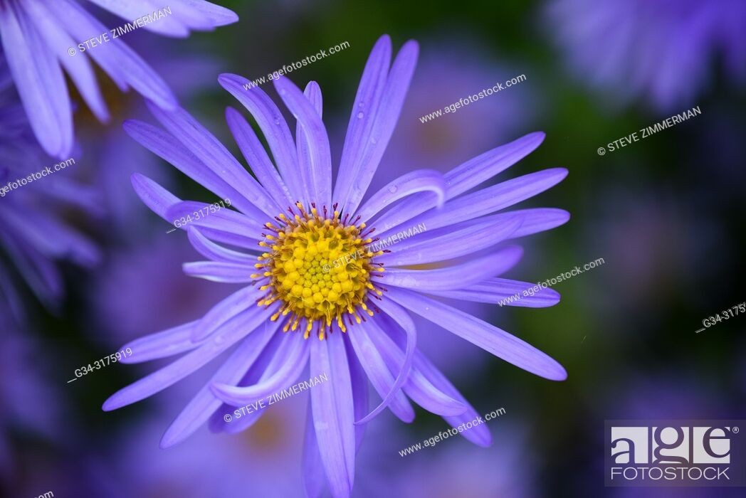 Stock Photo: Purple Power. Kubota Garden, Seattle, Washington, USA.