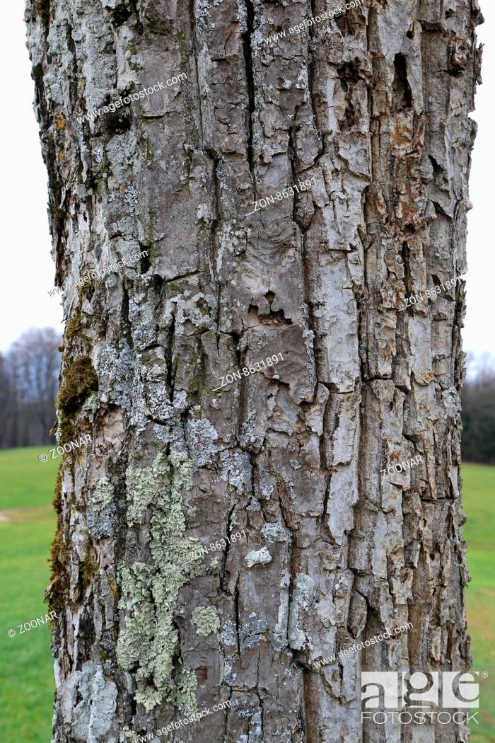 Typical trunk and bark of a walnut tree with lichen, Stock