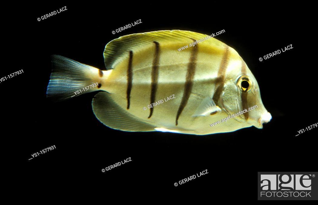 Stock Photo: Convict Surgeonfish, acanthurus triostegus, Adult against Black Background.