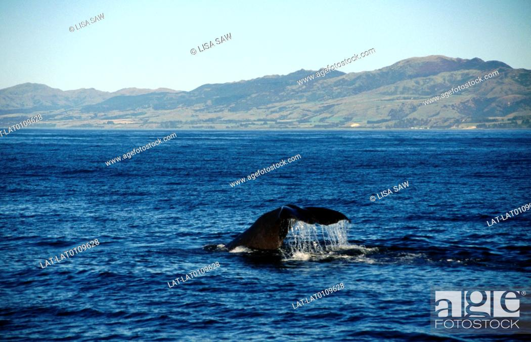 Stock Photo: Whale watching. Sperm whale diving in water. Tail fluke rising from water. View to coast, shore.