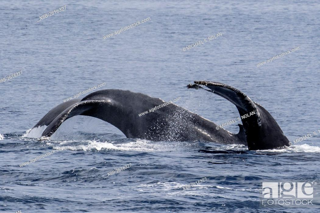 Stock Photo: Adult male humpback whales, Megaptera novaeangliae, compete for a female in esterus, San Jose del Cabo, Baja California Sur, Mexico.