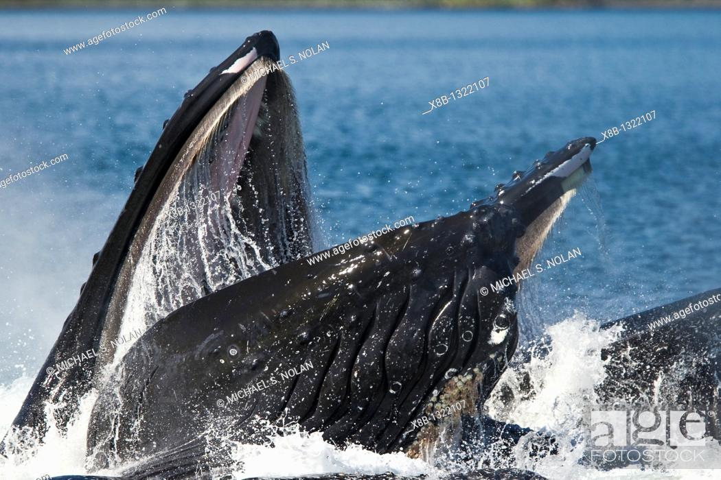 Stock Photo: A group of adult humpback whales Megaptera novaeangliae co-operatively 'bubble-net' feeding along the west side of Chatham Strait in Southeast Alaska.