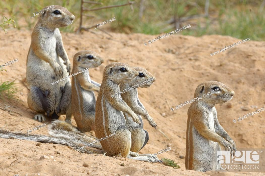Stock Photo: Cape ground squirrels (Xerus inauris), two adults with young, looking out from the burrow entrance, alert, Kgalagadi Transfrontier Park, Northern Cape.