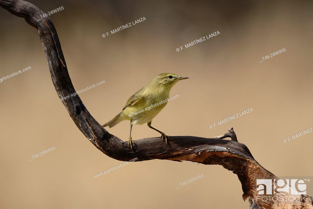 Stock Photo: Chiffchaff Phylloscopus collybita. Photographed in an oak grove of olive Fresnedilla Madrid.