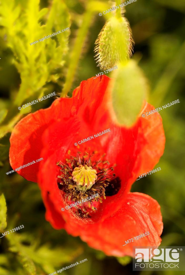 Stock Photo: Poppy.