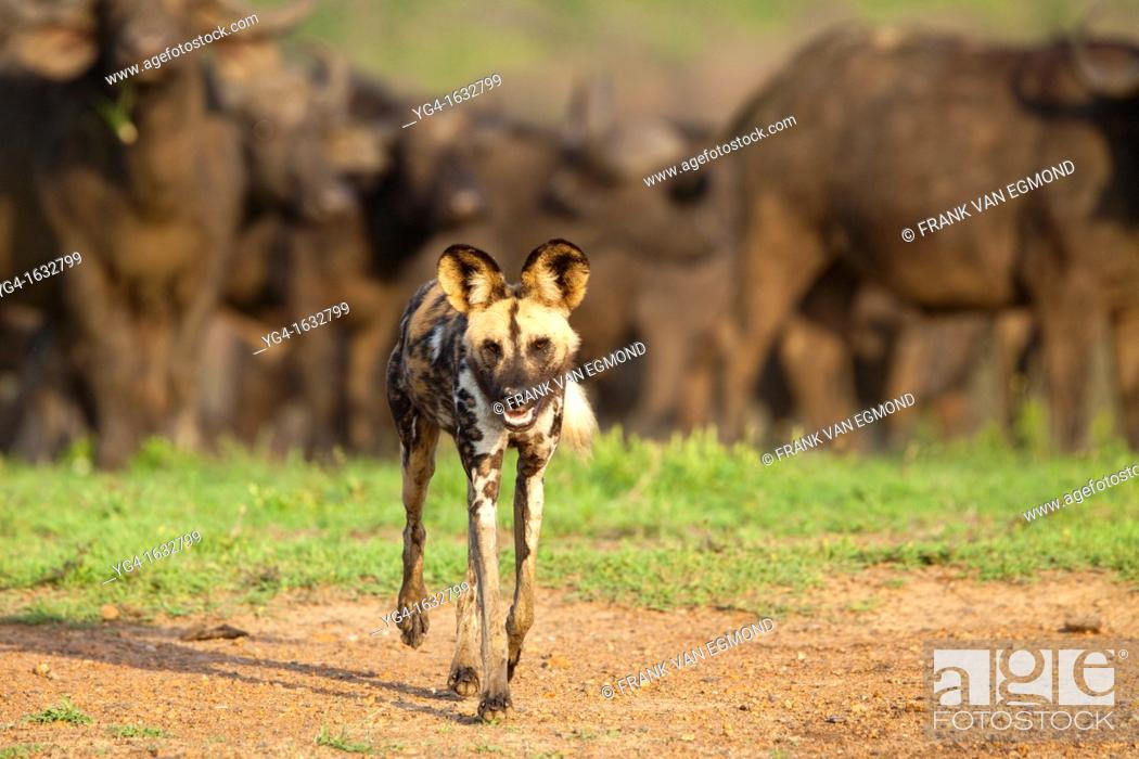 Stock Photo: African Wild Dog Lycaon pictus with a herd of Buffalo in the background Hluhluwe-Imfolozi Game Reserve, Kwazulu-Natal, South Africa.