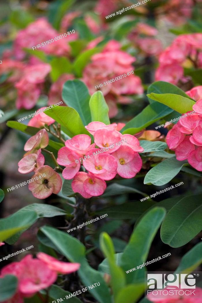 Stock Photo: Crown-of-thorns Euphorbia milii flowering, in garden, Palawan, Philippines, march.
