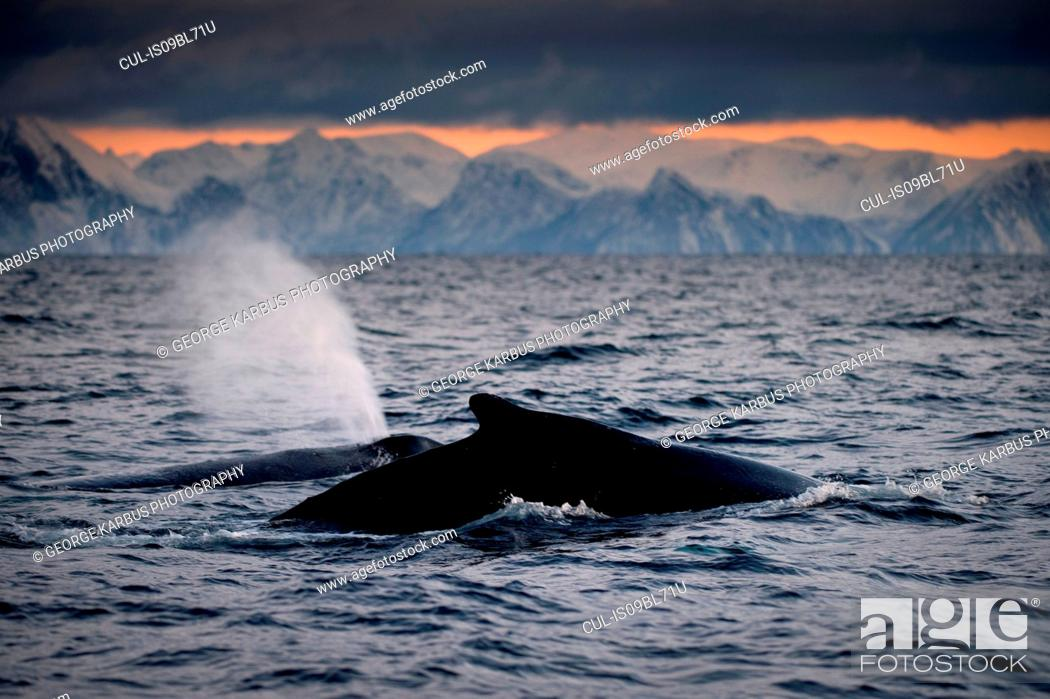 Stock Photo: Humpback whale's tail above water surface, Andenes, Nordland, Norway.