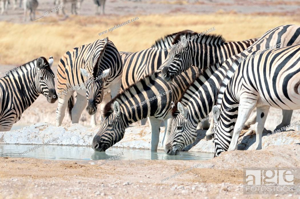 Stock Photo: Young Burchell's zebra (Equus burchelli), in the middle of the herd, drinking at waterhole, Etosha National Park, Namibia, Africa.