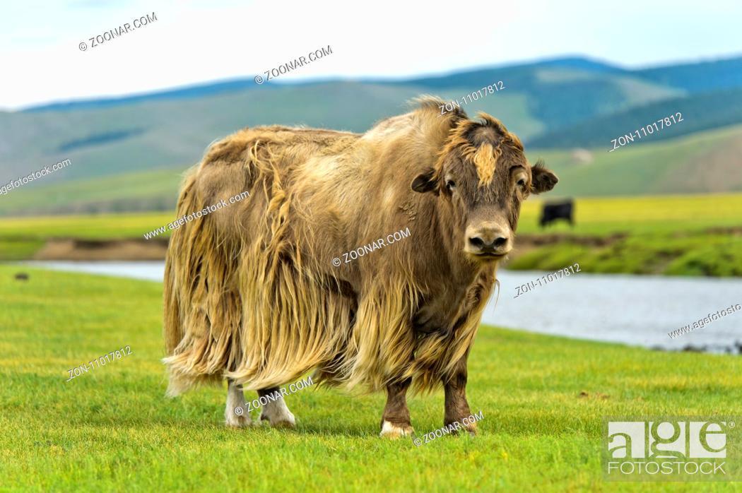 Stock Photo: Yak (Bos mutus) mit hellbraunem langhaarigem Fell, Orchon-Tal, Khangai Nuruu Nationalpark, Oevoerkhangai Aimag, Mongolei /Yak (Bos mutus) with long light brown.