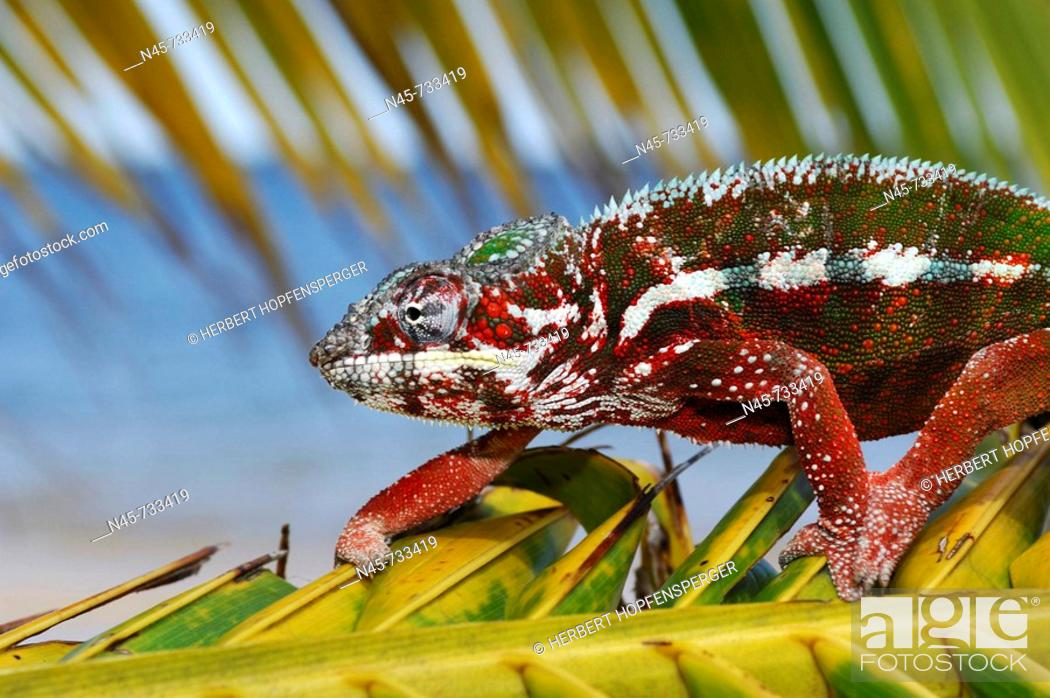 Stock Photo: Panther Chameleon Male.