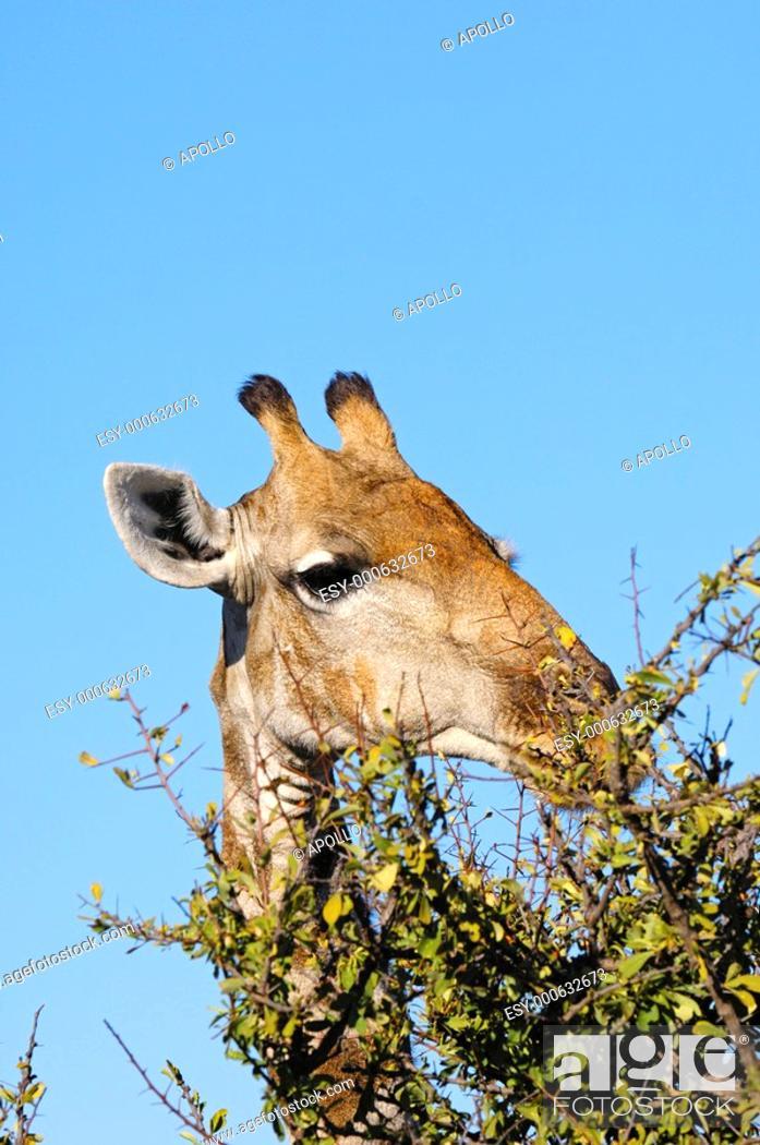 Stock Photo: Giraffe, Giraffe camelopardalis, grazing on thornbush vegetation, Madikwe Game Reserve, South Africa.